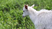 White goat grazes in a meadow