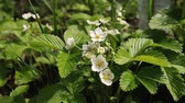 aardbeien : Fruit concept. Strawberry blooms in garden. Bushes with white flowers and green leaves. Blossoming, organic