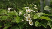 The first small white strawberry flowers in the garden. Bush blooming strawberry close up view Stok Video
