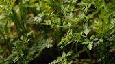 Fresh leaves of young parsley are grown in the garden. Nature and ecology. Own garden
