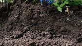 Weeding soil in the garden. Garden works, weeding of the ground by rakes from weeds