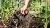 kidney beans : Farmer throws seeds into the ground in his garden. Spring work, close-up. Stock Footage