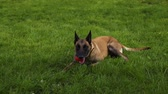 kovalamak : Belgian Shepherd dog holding a toy ball, lying on the grass in the mouth during a walk in nature