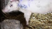 kismalac : Baby pig onlivestock farm. Pigs on livestock farm. Pig farming.