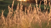 empolgante : Sunset on the field. Grass in the backlight of the sun. Stock Footage