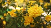 cins : Beautiful fresh roses in nature. Bush of a rose of saturated yellow color in garden Stok Video