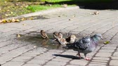 maltês : Many brown bird sparrows wash themselves in a dirty puddle. Pigeons walk on the tiles on a summer day