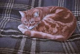 киска : Red fluffy cat on the plaid background Стоковые видеозаписи