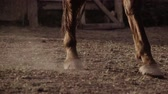 mare : Close up view of the legs of a brown or bay horse wearing leg bandages around the front fetlocks for protection and strength walking through a paddock or riding school
