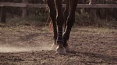 equestrian sport : Close up view of the legs of a brown or bay horse wearing leg bandages around the front fetlocks for protection and strength walking through a paddock or riding school