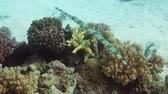 polyps : Cornetfish hunt on tropical coral reef Stock Footage