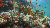 polyps : Tropical Anthias fish with net fire corals