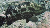 polyps : Brown-marbled grouper and tropical reef in the Red Sea