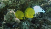 polyps : Vibrant yellow Masked Butterflyfish (Chaetodon semilarvatus) with coral reef background. Red Sea, Egypt.