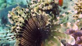 polyps : Lionfish among colorful small fishes at the coral reef underwater