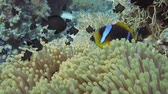 polyps : Clownfish shelters in its host anemone on a tropical coral reef