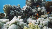 polyps : Coral Reef Scene with tropical fish in Red Sea, Egypt Stock Footage