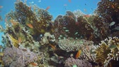 polyps : Tropical Anthias fish with net fire corals on Red Sea reef underwater