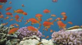 animais : Colorful underwater offshore rocky reef with coral and sponges and small tropical fish swimming by in a blue ocean Stock Footage