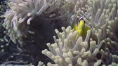 анемон : Clownfish shelters in its host anemone on a tropical coral reef