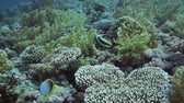 polyps : Beautiful Banner-fish at the Red Sea coral reef Stock Footage