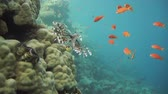 polyps : Colorful underwater offshore rocky reef with coral and sponges and small tropical fish swimming by in a blue ocean Stock Footage