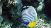 polyps : Emperor Angelfish (Pomacanthus imperator) on Coral Reef in Red Sea Stock Footage