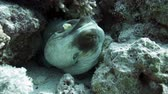 animais : Reef octopus (Octopus cyaneus) in the Red Sea, Egypt. Stock Footage