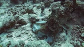 polyps : Reef octopus (Octopus cyaneus) in the Red Sea, Egypt. Stock Footage