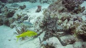 polyps : Red Octopus and Yellow-saddle Goatfish on coral reef in the Red Sea
