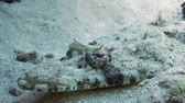 климат : Tentacled flathead (Papilloculiceps longiceps) in the Red Sea, Egypt Стоковые видеозаписи