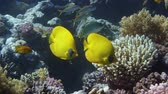 mascarada : Vibrant yellow Masked Butterflyfish (Chaetodon semilarvatus) with coral reef background. Red Sea, Egypt.