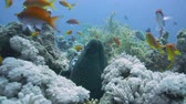 polyps : Giant Morey Eel on the Coral Reef in the Red Sea Stock Footage