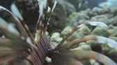 mergulhador : Lionfish among colorful small fishes at the coral reef underwater