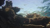 deniz yaşamı : Colorful underwater offshore rocky reef with coral and sponges and small tropical fish swimming by in a blue ocean Stok Video
