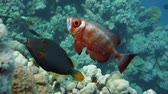 deniz yaşamı : Crescend-tail bigeye on the coral reef in the Red Sea