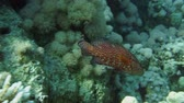 mergulhador : Coral hind peacock grouper (cephalopholis argus) in the Red Sea,  Egypt.