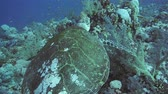 polyps : Hawksbill Turtle on a coral reef in the Red Sea