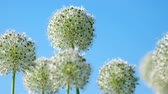 calyx : Beautiful White Allium circular globe shaped flowers blow in the wind. UHD