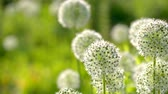 spring onion : Beautiful White Allium circular globe shaped flowers blow in the wind. UHD
