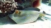taeniura : Bluespotted Ribbontail STINGRAY in the Red Sea. Handsome stingray, Taeniura lymma, swimming between coral reef pinnacles.