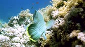 corner : Napoleon Fish on Coral Reef, underwater scene. Red sea
