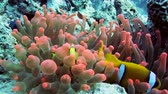 анемон : Clownfish family playing in their anemone home. HD Стоковые видеозаписи