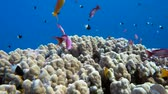 анемон : Underwater coral reef (porites nodifera) with tropical fish (anthias) in ocean