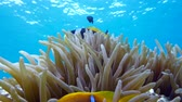 анемон : Clown fish in anemone close, Red sea. Egypt. 4K Стоковые видеозаписи