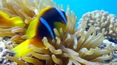 false color : Clown fish in anemone close, Red sea. Egypt. 4K Stock Footage