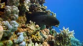 exotikou : Murena on Coral Reef, Red sea