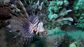 leão : Lion fish. Diving in the Red sea near Egypt. 4K Vídeos