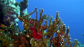 csillog : Net Fire Coral (Millepora dichotoma), Glare of sunlight on colorful corals near the water surface. Red Sea 4K