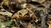 wart : Toad sitting among leaves in the woods croaking. HD